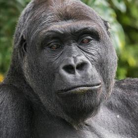 Gorilla in Ouwehands Dierenpark