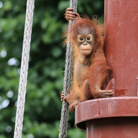 Een orang oetan in Ouwehands Dierenpark